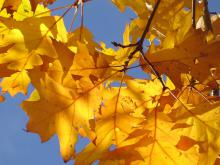 Feuilles d'arbres jaunes